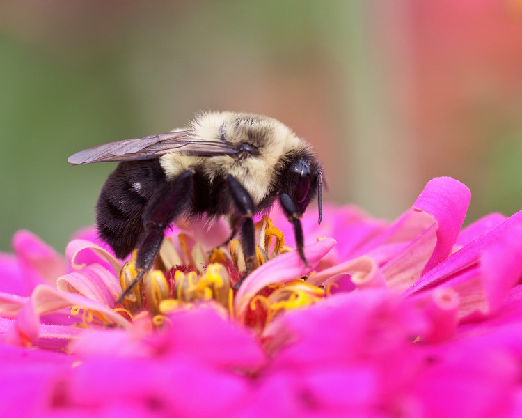 American Bumble Bee on a Zinnia