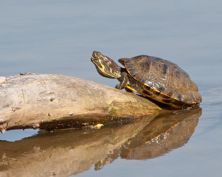 Male Red-Eared Slider