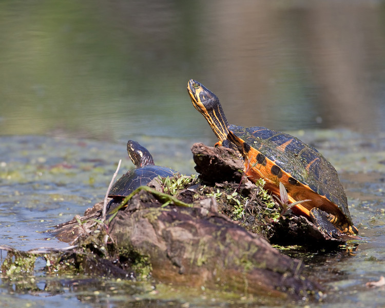 Yellow-Eared Slider