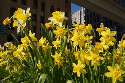 Daffodils below the People Mover