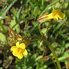 Seep Monkey flower