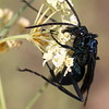 Great Black Wasp, Sphex pensylvanicus