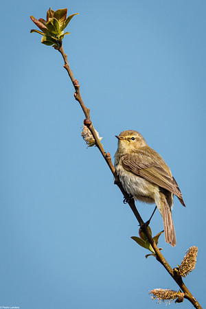 Willow Warbler in a Willow Tree