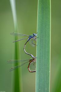 Emerald Damselfly - Mating Pair