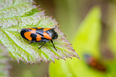 Red-and-black Froghopper