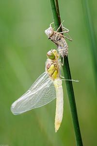 Emerging Dragonfly