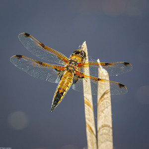 Four-Spotted Chaser 1