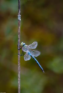 Emperor Dragonfly at Rest