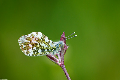 Orange Tip Butterfly - Underwing