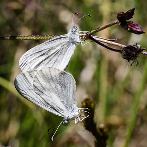Wood White Butterfly Mating