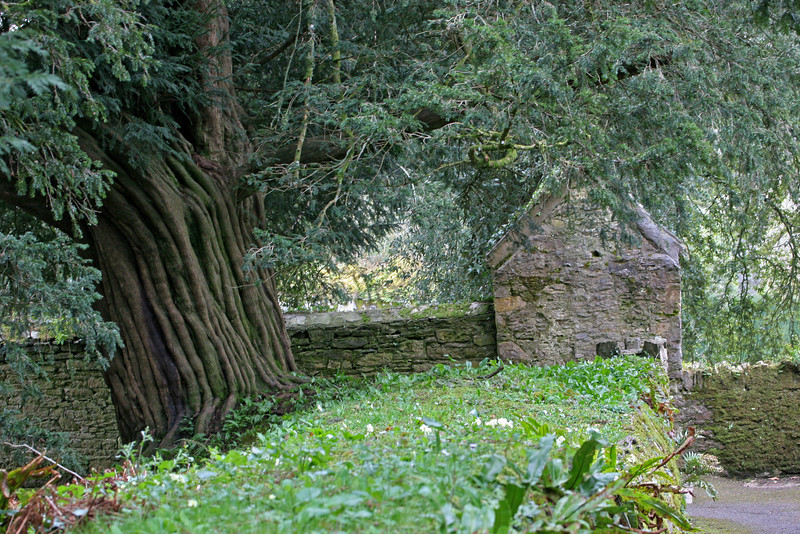 The largest Yew tree in England