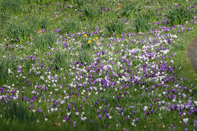 Acres of spring flowers.....both crocus and daffodils..