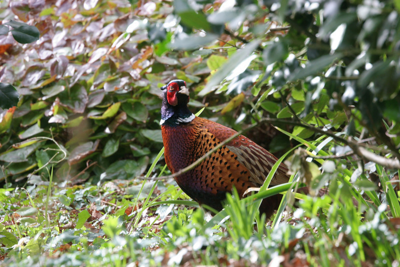 A cock Pheasant in his finest plumage wanders the grounds.