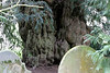 And it is possibly the oldest Yew.
