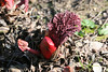 Growing among the Gunnera - no one could identify this bright red plant