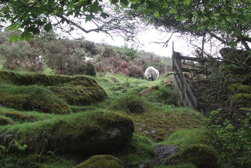Sheep graze freely across Dartmoor