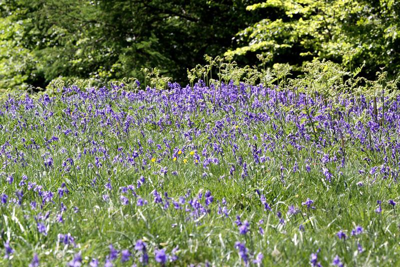 Spring Bluebells carpet parts of Dartmoor