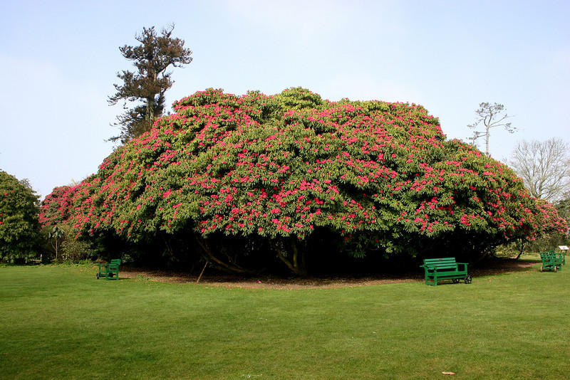 Rhododendrons now more than twenty feet tall have grown together forming a shade tree