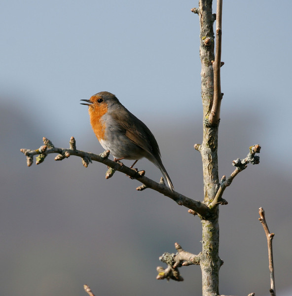 A robin's song welcomes a warm spring day.