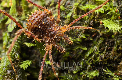 Spiny Harvestmen (triaenonychid) | Blue lake, Rotorua