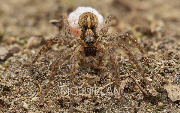 Anoteropsis hilaris (wolf spider