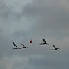 Wood Storks with Roseate Spoonbill