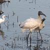 wood storks, great egret