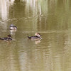 Female Hooded Mergansers with male Blue Winged Teal