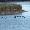 Bufflehead flock