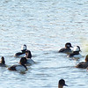 Scaup and Bufflehead