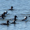 Mixed flock of Scaup and Bufflehead