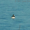 Male Bufflehead in the impoundment