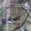 Black ducks