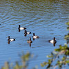 Scaup flock