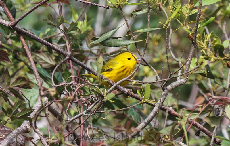 ebird Dewees Island yellow warbler
