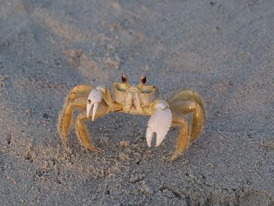 Horseshoe Crabs on Dewees Island