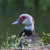 Muscovy duck May 10 2015
