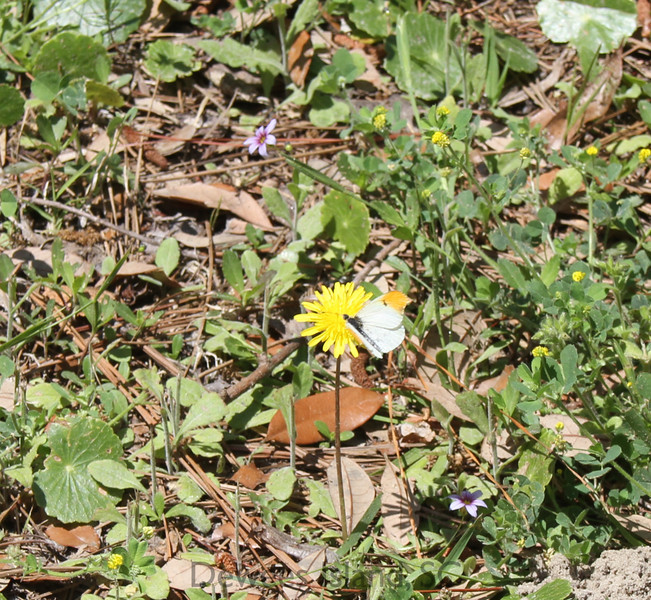 spring wildflower dandelion and falcate orangetip