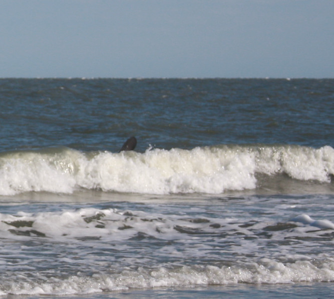 manatee flipper in the surf at Dewees Island