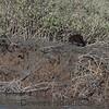 mink running along the bank