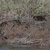 nosing his way through the reeds...