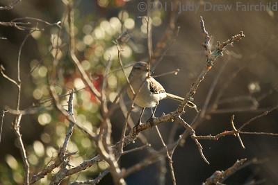 Mockingbirds, Catbirds, Thrashers