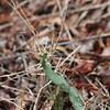 devil's joint cactus
