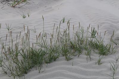 Seashore Dropseed
