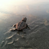 Loggerhead hatchling on Dewees Island, SC