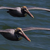Sometimes you are eye-to-eye with the Pelicans from the top deck of the ferry.