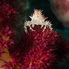 Soft coral crab (Candy crab)
