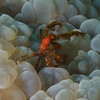 Orangutan crab on interesting bubble coral
