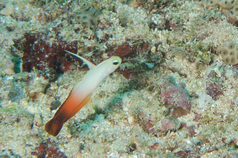 Fire dartfish