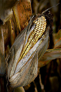 VisualXpressions: 'Time tu harvest that thar corn' (DSS Round #8: Weathered or Polished)